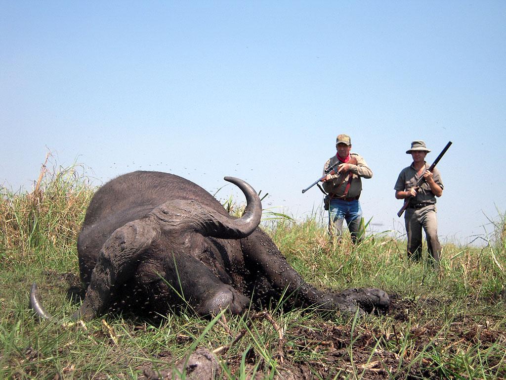 WIld African Buffalo Down Sheriff Jim Wilson