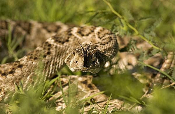 South Texas Rattlesnake Season Sheriff Jim Wilson