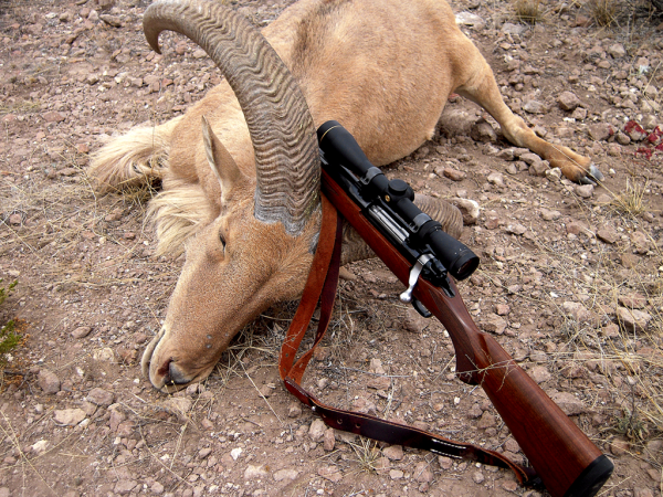 A nice aoudad taken in the mountains of southern Presidio County. Sheriff Jim Wilson